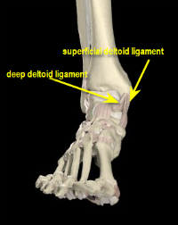 deltoid ligament