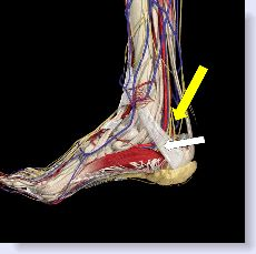 anatomy of tarsal tunnel